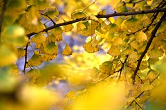 Ginkgo (MelindaChan ^..^) Tags: china autumn plant tree fall yellow leaf branch guilin mel fallen melinda guangxi   chanmelmel melindachan