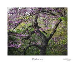 Radiance (baldwinm16) Tags: tree nature illinois spring midwest il april redbud mortonarboretum natureofthingsphotography