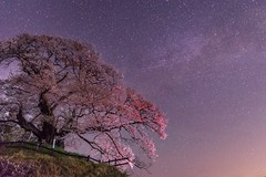 The spring night (ILCE-7M2 + SIGMA 24-35mm f2.0 lens) (tadanori.inoue) Tags: sky color tree colors beautiful japan night stars landscape star nightscape sony sigma galaxy cherryblosssom ilce7m2