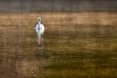 Mist (Nige H (Thanks for 4.6m views)) Tags: mist lake bird nature water dawn swan