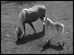 HAFLINGER NACHWUCHS . HAFLINGER OFFSPRING (LitterART) Tags: horses horse baby animals tiere nikon farm animaux pferde herd pferd offspring filly foal haflinger babyanimals nachwuchs fohlen herde nikonp330 pleschwirt