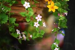 The Flower Pot (|| Rehnumah Insan ||) Tags: old summer white flower color nature beauty yellow contrast garden season 50mm spring dof bokeh outdoor smooth depthoffield bouquet 50mm18 canon600d