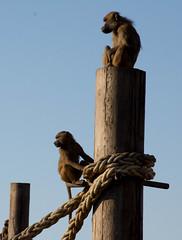 DSC_5997.jpg (littlestschnauzer) Tags: park uk two nature nikon view wildlife yorkshire pole climbing together april monkeys sat baboons primates doncaster 2016 ywp d7200