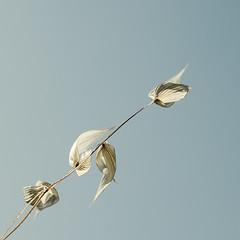 P4240130-4 (omj11) Tags: fleurs pastel contrejour