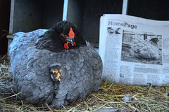 Goose and Bean! (Christina Burnham) Tags: old baby bird chicken nature beautiful easter newspaper wings pretty country feathers retro chick poultry aviary avian 5star chook