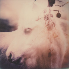 (mister sullivan) Tags: horse film polaroid doubleexposure double instant expired impossible expiredfilm impossibleproject mistersullivan roidweek2016 polaroidweek2016