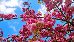 japanese cherry blossom (Mado AwaD) Tags: pink blue sky cloud plant flower tree green garden cherry ma blossom outdoor april cherryblossom mado 2016 macrophotographers