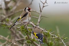 Jilguero europeo (Carduelis carduelis) (jsnchezyage) Tags: naturaleza bird fauna birding ave cardueliscarduelis jilgueroeuropeo