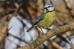 Herrerillo comn (Cyanistes caeruleus) (jsnchezyage) Tags: naturaleza bird fauna birding ave cyanistescaeruleus herrerillocomn