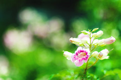 Pink (Phn Chua) Tags: pink white plant blur flower green nature beauty daylight dof natural pentax bokeh depthoffield vietnam outstanding tayninh