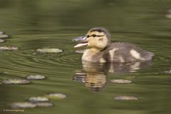 Lost duckling (shimmeringenergy) Tags: duckling adorable mallard anasplatyrhynchos colvert vandusenbotanicalgarden haveagreatweek ilikeducklings