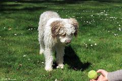 012308 - Letizia (M.Peinado) Tags: copyright espaa dog dogs animal canon spain perro mano perros animales letizia mascota pelota castillalamancha 2016 perrodeagua albalatedezorita provinciadeguadalajara abrilde2016 17042016 canoneossx60hs