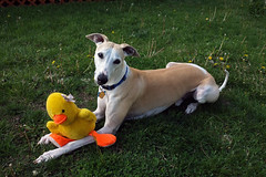 I Love My Duckie (DiamondBonz) Tags: dog pet green grass toy outside duck hound whippet spanky dogchal