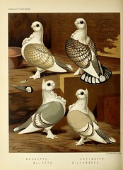 n387_w1150 (BioDivLibrary) Tags: pigeons fieldmuseumofnaturalhistorylibrary bhl:page=49799255 dc:identifier=httpbiodiversitylibraryorgpage49799255