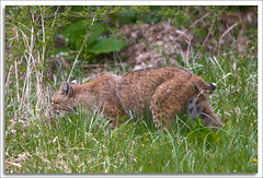 Bobcat (richpope) Tags: newjersey bobcat nationalgeographic delawarewatergap lynxrufus sussexcounty