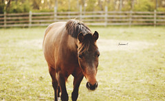 (suzcphotography) Tags: sunset horse cute canon puddle 50mm mud grove farm gray riding pony hunter clover gables equestrian equine t3i