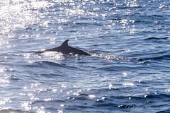 沖合クジラウォッチング (GenJapan1986) Tags: sea animal japan pacificocean 日本 海 動物 太平洋 2015 nikond610 アカボウクジラ