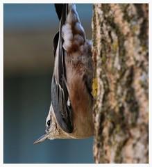 À la veritcale, Vertically (francepar95) Tags: tree bird backyard arbre oiseau verticale vertically dansmonjardin whitebreastednutchatch sittelleàpoitrineblanche