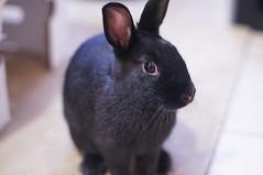Zuzu (Tjflex2) Tags: bunnies rabbits