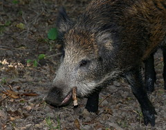 Successfully Thwarting The Bay Of Pigs Invasion (Ger Bosma) Tags: closeup head cuba cigar boar wildzwijn invasion schwein fidelcastro wildschwein wildpig bayofpigs cinghiale wildboar jabal sanglier zwijn theateam everzwijn dzik susscrofa hannibalsmith cradelcerdo 2mg65171