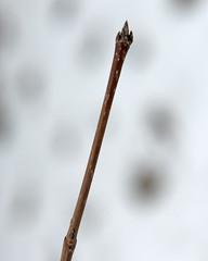 Acer saccharum (Plant Image Library) Tags: trees winter plants plant ecology maple massachusetts january newengland terminal sugar acer twig buds deciduous botany dormant phenology saccharum arboldarboretum