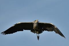 Heron (psnikon) Tags: bird heron animal nikon sigma tier vogel wilhelma reiher nikonphotography d800e nikond800e sigma150600s