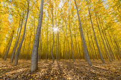 Boardman, Oregon Tree Farm has been sold and will soon be no more (CraigGoodwin2) Tags: oregon sold boardman treefarm