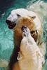 Untitled-20 (ucumari photography) Tags: 2003 bear animal mammal zoo oso nc december north polarbear carolina willie willy masha eisbär wilhelm ursusmaritimus シロクマ oursblanc osopolar 北极熊 ourspolaire orsopolare jääkarhu 북극곰 ucumariphotography ísbjörn niedźwiedźpolarny полярныймедведь الدبالقطبي