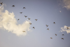 (Laura Colom) Tags: camp sky espaa birds clouds canon islands countryside spain pigeons aves ibiza cielo campo palomas eivissa islas baleares balearic nuves balears coloms illes