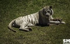 TEMAIKEN - 01/16 (Stefania Millivieri) Tags: white blanco nature argentina animals zoo perfect pretty buenos aires tiger tigre escobar zoologico bengala temaiken