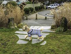 Canine fashion (Tony Tomlin) Tags: dog crescentbeach dogcoat caninefashion crescentbeachbc