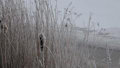 Winter - Rohrkolben und Schilf an der zugefrorenen Eider; Süderstapel, Stapelholm (4) (Chironius) Tags: stapelholm süderstapel schleswigholstein deutschland germany allemagne alemania germania германия niemcy eider fluss river rivière rio поток fiume stream commeliniden süsgrasartige poales rohrkolbengewächse typhaceae rohrkolben typha gras gräser herbe graminées grass grasses erba трава травы winter schnee eis reif