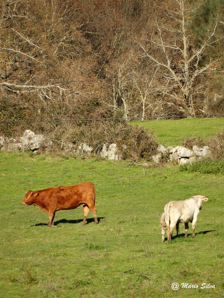 Águas Frias (Chaves) - ... vacas pastando ...