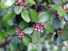 Myrsine africana L. 1753 (MYRSINACEAE) ♀ (helicongus) Tags: spain myrsinaceae myrsine myrsineafricana jardínbotánicodeiturraran
