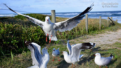 _DSC5540 (dawnbordin) Tags: sea hot bird beach birds head seagull gulls flock flight chips hungry lennox