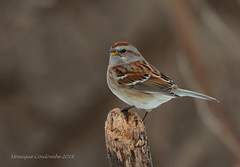Bruant Hudsonien - American tree Sparrow (Monique Coulombe) Tags: winter nature birds quebec wildlife ngc aves québec oiseau nationalgeographic americantreesparrow spizellaarborea winterbirds wildbirds emberizidae passeriformes québécois birdphotography chordata vertebrata wildnature birdbokeh photonature avianphotography bruanthudsonien naturebokeh oiseauxduquébec naturesauvage oiseauxsauvages québecoiseaux wintersparrow oiseauxdhiver birdinginthewild photographequébécois birdsofquebec birdshare avibase quebecwildlife québecnaturesauvage nikond7100 regroupementquébecoiseaux oiseauforestier moniquecoulombe