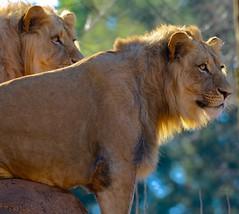 We're watching you.... (tvdflickr) Tags: atlanta animal zoo nikon pair lion zooatlanta malelion d610 200500mm nikond610 photosbytomdriggers photobytomdriggers thomasdriggersphotography