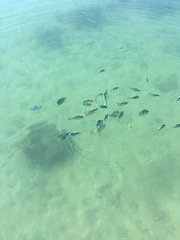 Fish feeding at the ocean pier (many tomatoes) Tags: wedding kohsamui lemeridien destinationwedding jjkohsamui chanrho2016