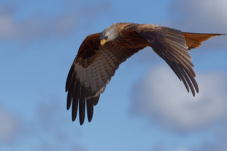 Milan royal (Milvus milvus - Red Kite)