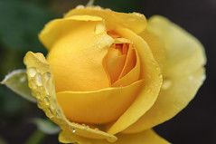After the Rain (Filsa Bint Ahmed) Tags: plant flower macro floral beautiful up rain rose yellow drops colorful close aftertherain cloudyday 105mmf28 d90
