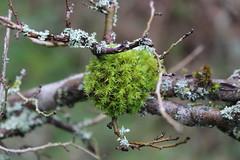 Moss (jo.dainty) Tags: tree green moss bark