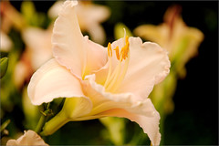 Daylily (joeldinda) Tags: flower garden raw lily daylily d300 joeldinda