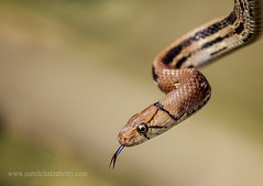 copper headed trinket (Sumt Chakraborty) Tags: canon snakesofindia indiansnakes canon100400isii canon7dmarlii
