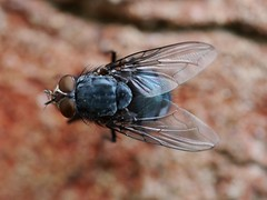 Fly on the wall. (von8itchfisk) Tags: macro nature wall garden insect outside fly handheld mygarden bluebottle battisford vonbitchfisk
