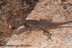 IMG_9543 (Chaitanya Shukla) Tags: india macro lizard maharashtra in kokan guhagar patpanhale shringartali brooksgecko