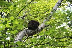 North American porcupine in Catskills NY (The NYSIPM Image Gallery) Tags: newyork forest garden mammal rodent farm wildlife porcupine ipm pest rodentia eri integratedpestmanagement nysipm ipmprogram erethizumdorsatum