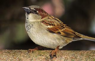 Sweet sparrow