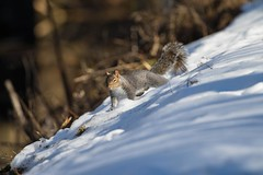 7K8A2420 (rpealit) Tags: nature field squirrel scenery wildlife gray east alumni hatchery hackettstown