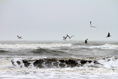 Waves & Seagulls (Flemming Pedersen) Tags: naturaleza nature canon denmark natur sigma natura danmark nordsee northsee nymindegab nordsøen canon7d sigma70200mmf28os