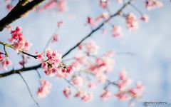 (sigma9988) Tags: cherry 50mm blossom bokeh sakura f18   oreston  gorlitz meyeroptik
